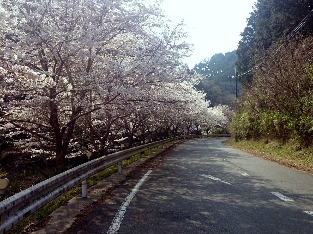 ロードバイクと桜