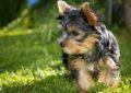 もふもふな犬(ヨークシャーデリア)