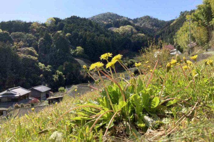 今日のブタライド:和束・大正池で春の茶畑と新しいカフェ