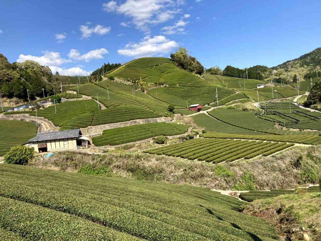 ロードバイクと京都は和束町の茶畑